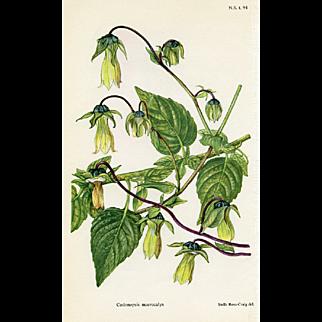 Botanical Print - Ginseng (1951)