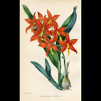 Antique Orchid Print - Epidendrum (1844)