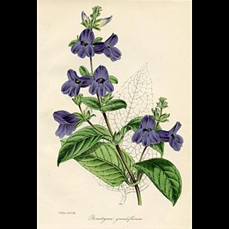 Antique Botanical Print - Wingpoint, 1847