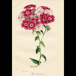 Antique Botanical Print - Phlox, 1847