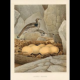 Antique Bird Print - Ruffed Grouse (1882)