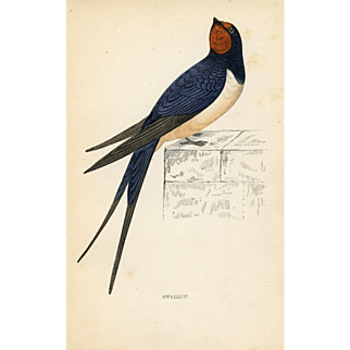 Antique Bird Print - Swallow (1870)