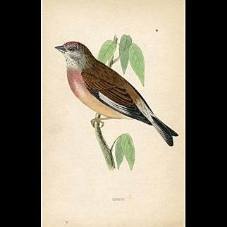 Antique Bird Print - Linnet (1870)