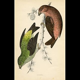 Antique Bird Print - Crossbill (1870)