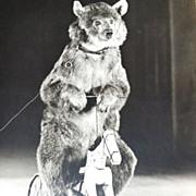 Culver ~ Circus Bear on Horse Cycle 8x10 Photograph