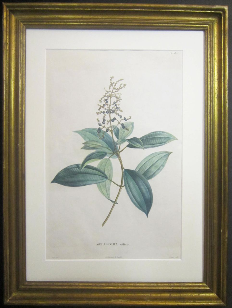 19th Century French Botanical Engraving Printed by Langlois
