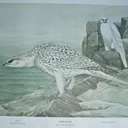 Gyr falcon/Prairie falcon 2 sided print Rex Brasher