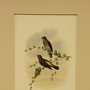 Gould Yellow-rumped Honey- guide - Birds of Asia