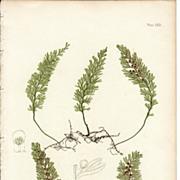 SALE Bradbury Fern Botanical Print- Hymenophyllum Tunbridgense