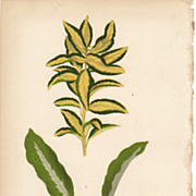 Lowe Beautiful Leaved Plants Botanical Print- Japonicus