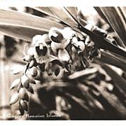 Real Photo Postcard of Shell Ginger Growing on the Hawaiian Islands