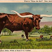 Postcard of Longhorn Steer in West Texas
