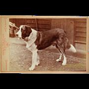Antique Cabinet Photograph ~ Saint Benard Dog