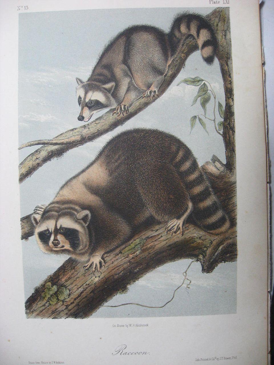 Audubon Quadruped Octavo Raccoon 1851 Antique Print 19th C Stone Lithograph