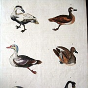 William Martyn Natural History Engraving Ducks 1785