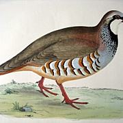 Beverly Morris British Game Birds Red Legged Partridge