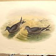 John Gould Lithograph PETRAL Antique Bird Print 1864