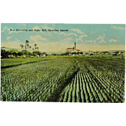 Island Curio Company Vintage Hawaiian Post Card of Rice Plantation