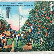 1947 Postcard Picking Oranges Near New Orleans