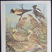 Bird Portrait Weber  Bobolink Vintage 1930