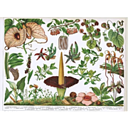 Insect-eating Plants, Chromolithograph from 1898