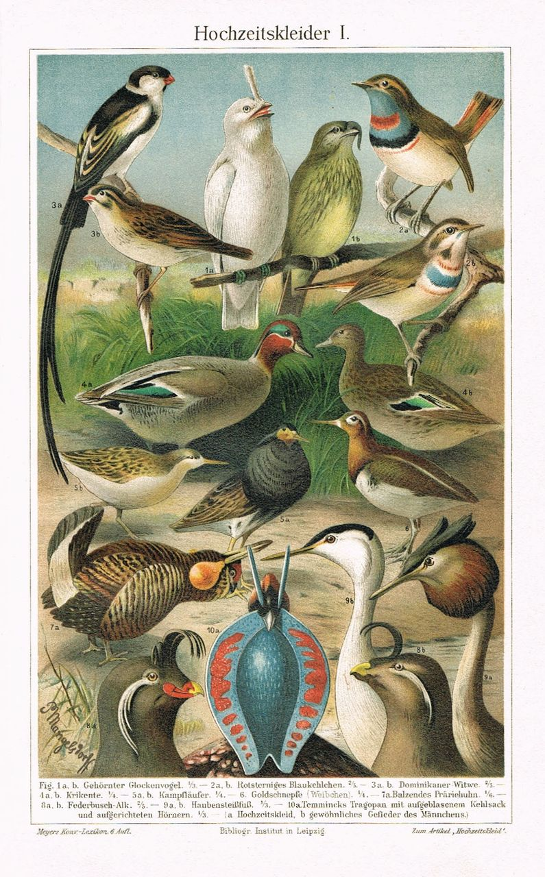 Animals in bridal Colors. Chromo Lithograph from1898.  Decorative