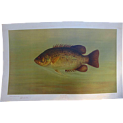 The Rock Bass 1898 Chromatography Print by William C.Harris