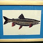 SALE Lake Trout Fish Print Framed 50% OFF
