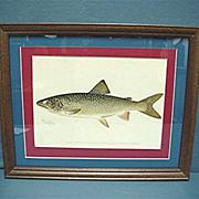 SALE Lake Trout Framed Fish Print Signed Denton  50% OFF