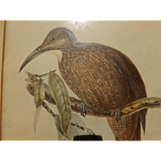 Antique Bird Print - Hullmandel & Walton handcolored lithograph Dendrcolaptes
