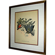 Print by D. G.  Elliot of Pitta Erythr O Castra, late 19th century