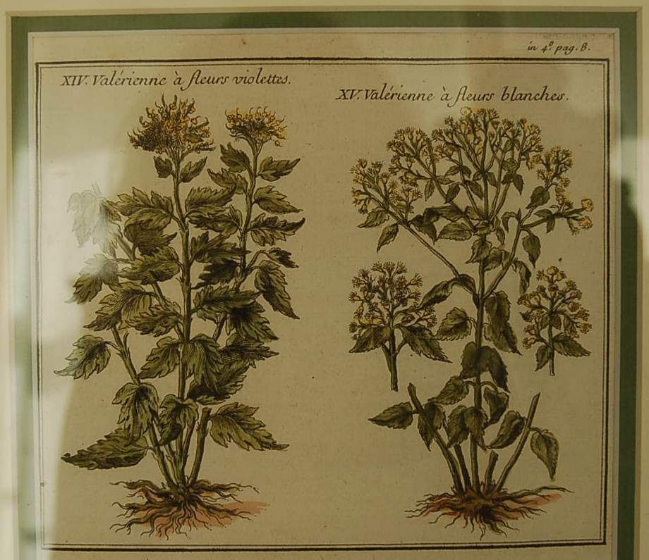 18th Century French Hand-colored Botanicals from Plantes d'America