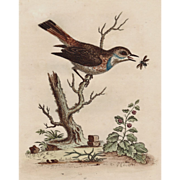 Antique Water-colored Etching by George Edwards Circa 1758