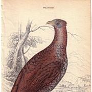 19th Century Engraving by LIZARS, Female Pheasant