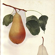 Lovely Fruit Print, 1921, PEARS OF NY Vicar of Winkfield, Hedrick