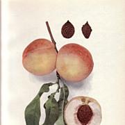 Lovely Fruit Print, 1917, PEACHES OF NY Late Rareripe, Hedrick