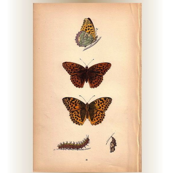 Lovely Colored Plate from Morris Butterfly Book, SILVER-WASHED FRITILLARY
