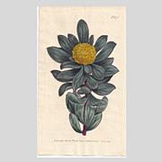 Lovely CURTIS Botanical Print circa 1805 PROTEA GLOBOSA