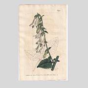 Lovely CURTIS Botanical Print circa 1806 Campanula MACROPHYLLA