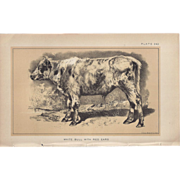 Bi-Color Lithograph White Bull with Red Ears c. 1888 Julius Bien