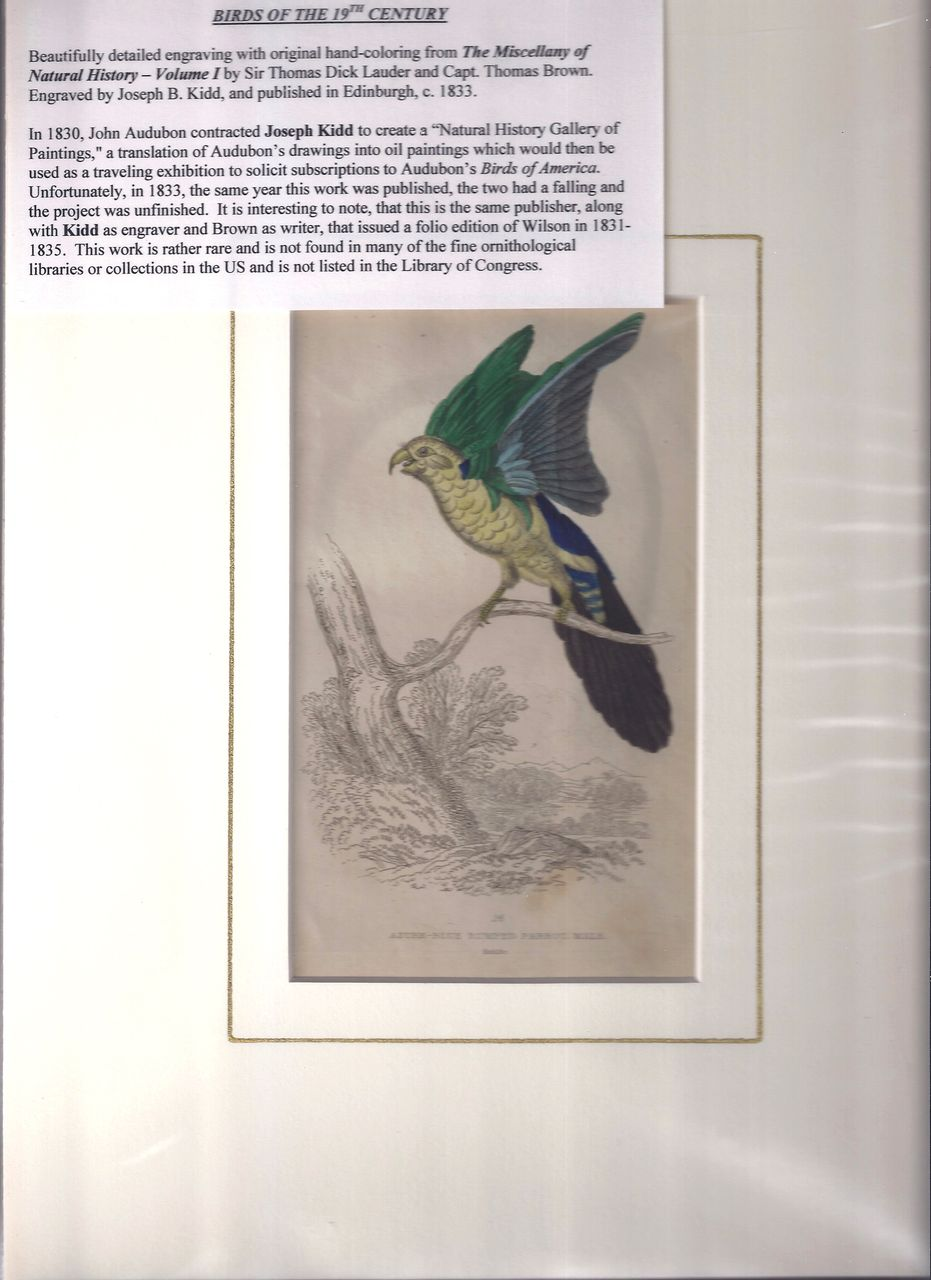 19th Century Engraving by Joseph B. Kidd, AZURE BLUE PARROT, Matted